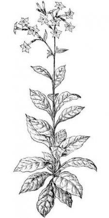 Общее описание Табака